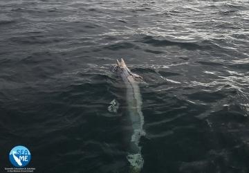 Carcassa di delfino alla deriva. Ieri, il pronto intervento per il recupero