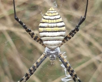 Esemplare di ragno alloctono nel Parco Nazionale dell'Arcipelago di La Maddalena